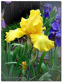 A wonderful yellow iris