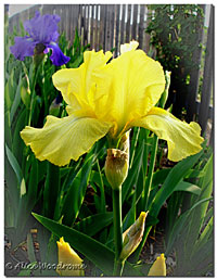 Yellow Iris with Yellow Beard