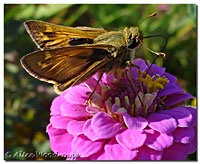 Butterfly and Zinnia