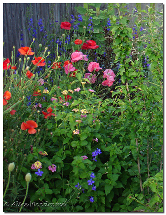 poppies and more, May 29