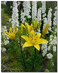 Yellow Asiatic and Larkspur